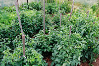 Tomato plants in the garden