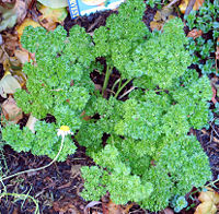 Parsley is an example of a biennial plant.