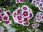 The Sweet William Dwarf plant is a biennial plant