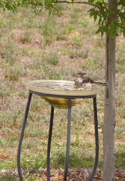 Photograph of a watchful mockingbird taking a bath in a glass bowl birdbath.