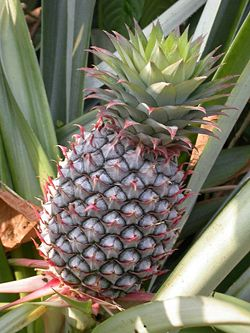 Pineapple, a bromeliad