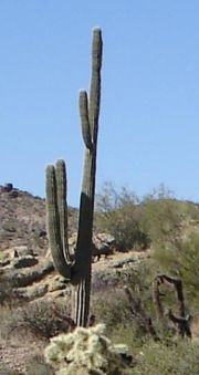 Saguaro cactus in Arizona, USA. This species is well known from Western films.
