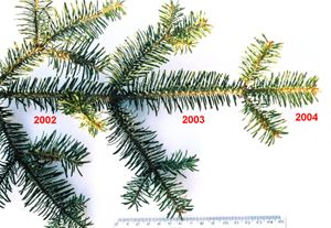 A Silver Fir shoot showing three successive years of retained leaves