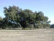 A Southern live oak in winter