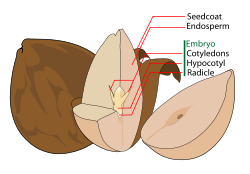 The parts of an avocado seed (a dicot), showing the seed coat, endosperm, and embryo.