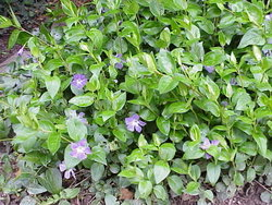 Groundcover of Vinca major