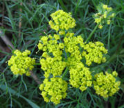 Closeup of wild fennel flowers