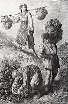 Rose-picking in the Rose Valley near the town of Kazanlak in Bulgaria, 1870s, engraving by Austro-Hungarian traveller F. Kanitz
