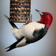 Red-headed woodpecker on a bird feeder.