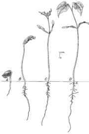 Development of an angiosperm (maple) seedling