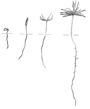 Development of a gymnosperm (Douglas fir) seedling