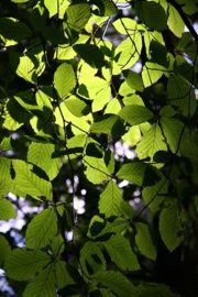 Leaves are an important feature of trees.  These are Beech leaves.